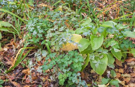 Hosta and Hemerocallis covered with leaves on garden  in autumn