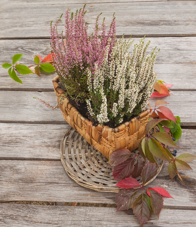 Pink and white heather in a basket on a wooden table old