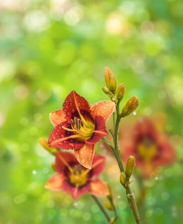 anthers: Summer background with blooming orange daylily with dew drops on blurred natural background  Stock Photo