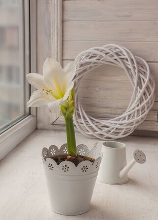 White amaryllis and decorative watering can  on the window