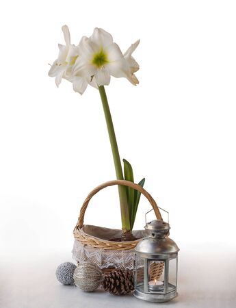 White Hippeastrum and Christmas decor on a white background