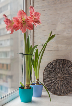 Pink double hippeastrum with burrisome pot and bud of hippeastrum in a blue pot on the window