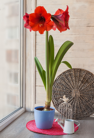 Red Hippeastrum in a blue pot with a decorative cage Stock Photo