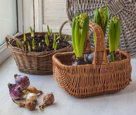 hyacinths: Bulbs, narcissus and hyacinths in the background basket  on the window