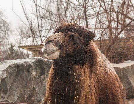 appropriate: Bactrian camel in an open cage at the zoo in winter