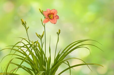 anthers: Bush of   daylily ( hemerocallis) with buds on blurred background Stock Photo