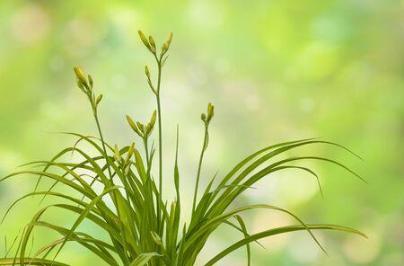 Bush of   daylily ( hemerocallis) with buds on blurred background Stock Photo