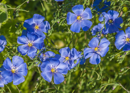 A flower bed with blue decorative linen (Linum perenne)
