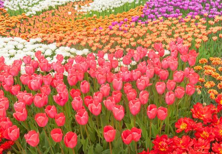 Flowerbed of tulips of different colors in the spring sunny day