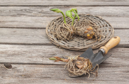 Lily bulbs with sprouts on a wooden background in spring before planting