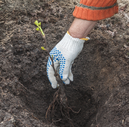 Mans hand planting a sapling grape in the pit