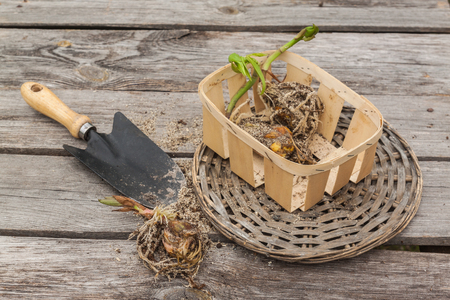 Lily bulbs in a basket next to a garden shovel on a wooden table