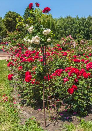 KYIV, UKRAINE-18 juin 2017: Le chapelet dans le jardin botanique n Kiev, Ukraine Banque d'images - 82153099