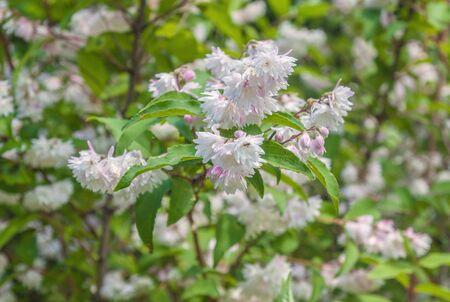 Branch of elegant pinkish white fuzzy deutzia flowers on a blur background