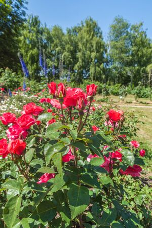 KIEV, UKRAINE-18 juin 2017: Le Rosaire dans le jardin botanique du nom de Grishko, Kiev, Ukraine Banque d'images - 82139965