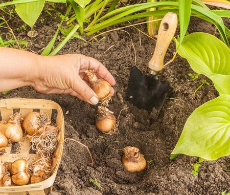 Vrouwelijke handen die narcissenbollen binnen op een bed planten