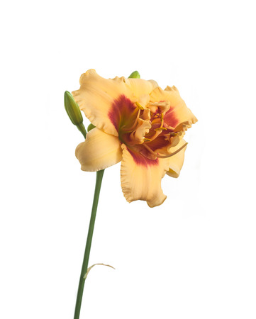 anthers: Blooming double daylily hybrid Early Early Truffle on a white background isolated