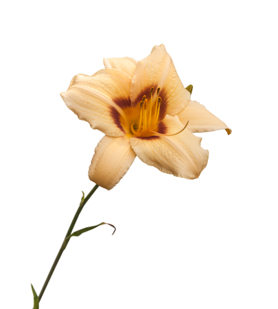 Blooming daylily hybrid Pandoras Box on a white background isolated