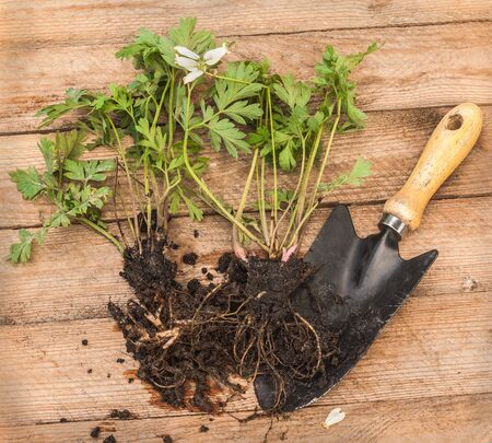 dispensary: Young plant of the dispensary for planting in the garden and a shovel on a wooden table Stock Photo