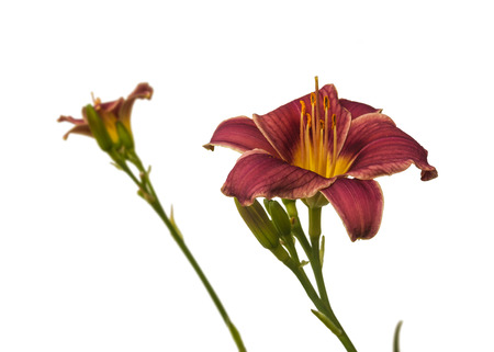 anthers: Purple daylily  on white background isolated Stock Photo