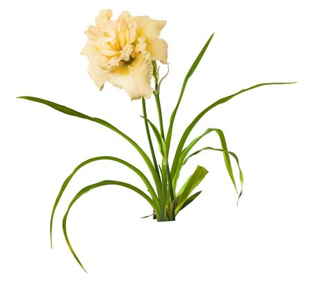 anthers: Bush of  daylily ( hemerocallis) Bowl of Cream with buds on a white background isolation