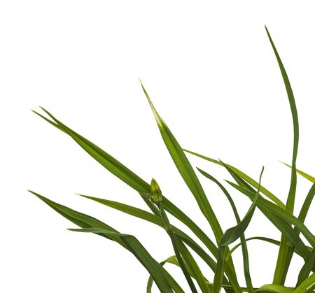 Bush of  daylily ( hemerocallis)  with buds on a white background isolation Stock Photo - 83651364