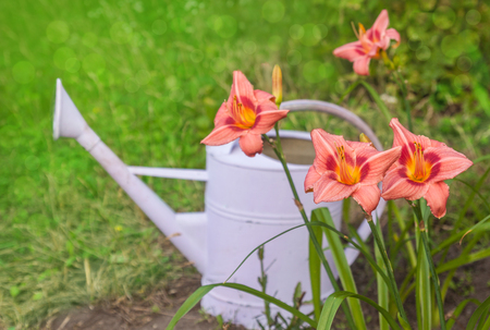 Blooming pink daylily  (hemerocallis) near a lilac watering can on a blurred background