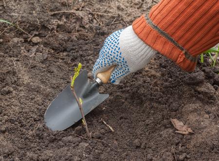 Man hand die een jong boompje druif in de tuin plant Stockfoto