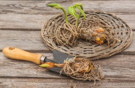 flat earth: Lily bulbs with sprouts on a wooden background in spring before planting