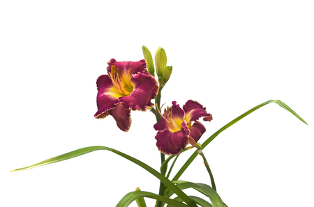 Purple daylily with corrugated yellow border (