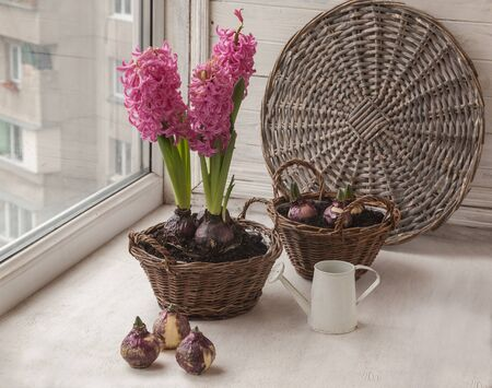 Forcing hyacinth bloom in winter on the window. Stock Photo