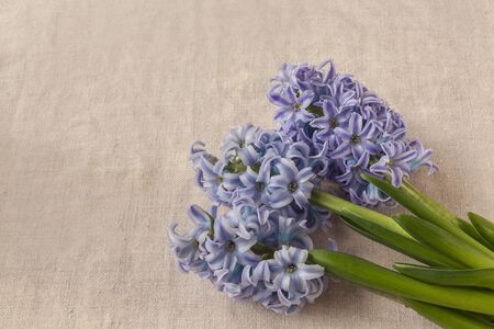 Delicate blue hyacinths  on a canvas background Stock fotó