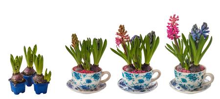 白い背景にヴィンテージパターンを持つポットでヒヤシンスの開花プロセスが分離 写真素材
