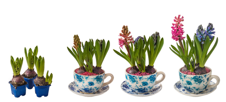Flowering process of hyacinth in a pot with a vintage pattern on a white background isolated Stockfoto