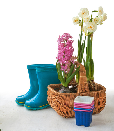 Pink hyacinth  and white double daffodils in a basket near blue rubber boots on a white background with shadow Stock Photo