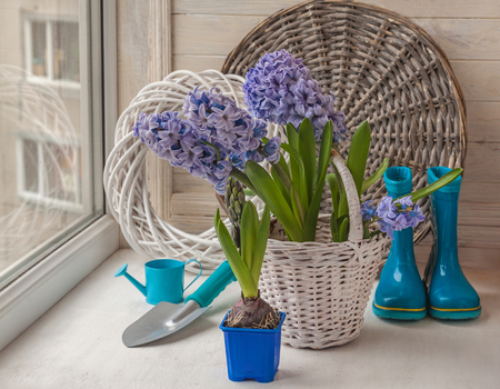 Hyacinths in a white basket on a  background rubber boots