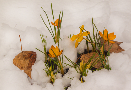 Group of yellow crocuses after snowfall Stock Photo