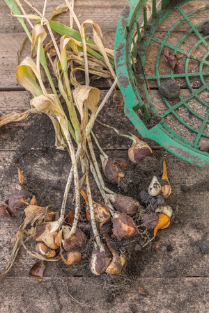 Tulips with bulbs after the end of vegetation  and basket for planting bulbous on a wooden background Banco de Imagens - 104455663