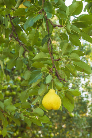 Ripe yellow pear on a branch on a blurry background of foliage