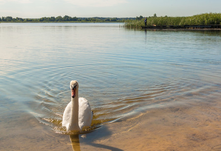White swan against the background of an angler on Lake Svitiaz on a sunny summer day