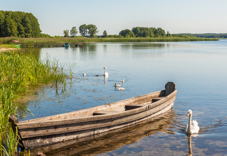 Old boat and the family of white swans on the lake Svitiaz a sunny summer day
