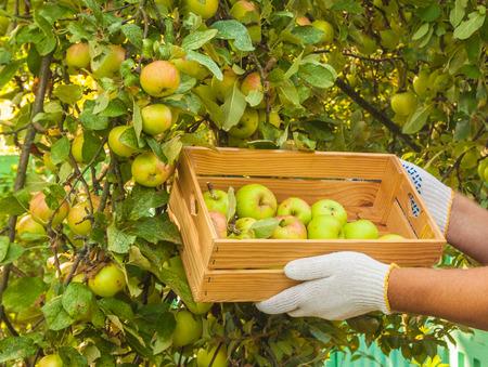 Men's hands harvest apples in a garden in summer Stock Photo