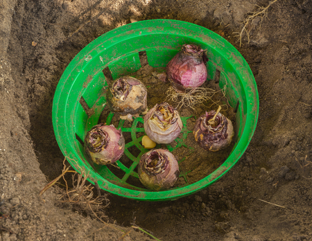 Bulbs of Hyacinths in a round green plastic basket for planting bulbs in the flowerbed