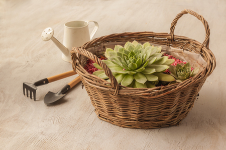 Sempervivum in the basket next to the rake and shovel, watering can