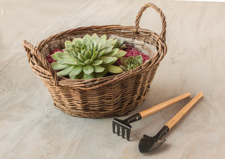 Sempervivum in the basket next to the rake and shovel