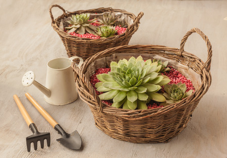 Sempervivum in the basket next to the rake and shovel, watering can Stock Photo