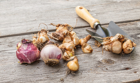 Narcissus bulbs before planting next to a garden shovel on a wooden table