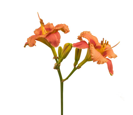 Salmon-colored Daylily (hemerocallis)