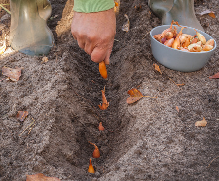 Farmer's hand plants small Delphinium onion bulbs in the ground in the fall. Stockfoto