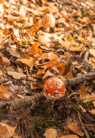 Amanita muscaria  in the autumn forest